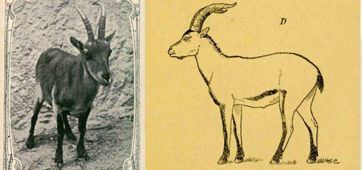 Única cabra montés lusitánica fotografiada (1890) y dibujo de un ejemplar
